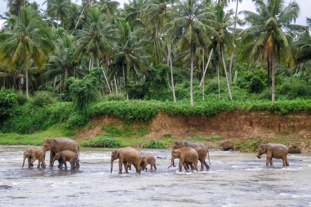 Das Elefanten-Waisenhaus in Pinnawala wurde im Jahr 1975 gegründet und hat sich die Aufzucht und Pflege von verwaisten Elefanten zur Aufgabe gemacht, Sri Lanka - © Juan Llompart / Fotolia