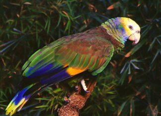 Der St. Vincent-Papagei, der Nationalvogel von St. Vincent und den Grenadinen, lässt sich des Öfteren im Botanischen Garten auf St. Vincent blicken - © Rjkooljay CC BY-SA3.0/Wiki