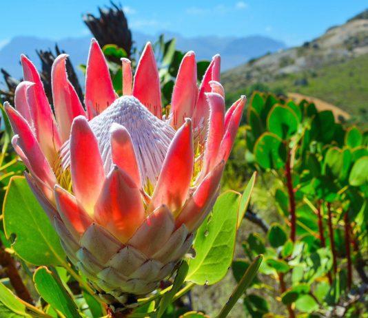 Die Königs-Protea wächst vor allem in der Cape Floral Region und ist die Wappenblume von Südafrika - © Bronwyn Mack / Shutterstock