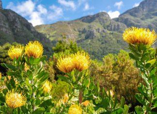 Die unterschiedlichen Vegetationsformen im Cape Floral haben im Lauf der Zeit erstaunliche Wege zu ihrer Verbreitung gefunden, Südafrika - © Karel Gallas / Shutterstock