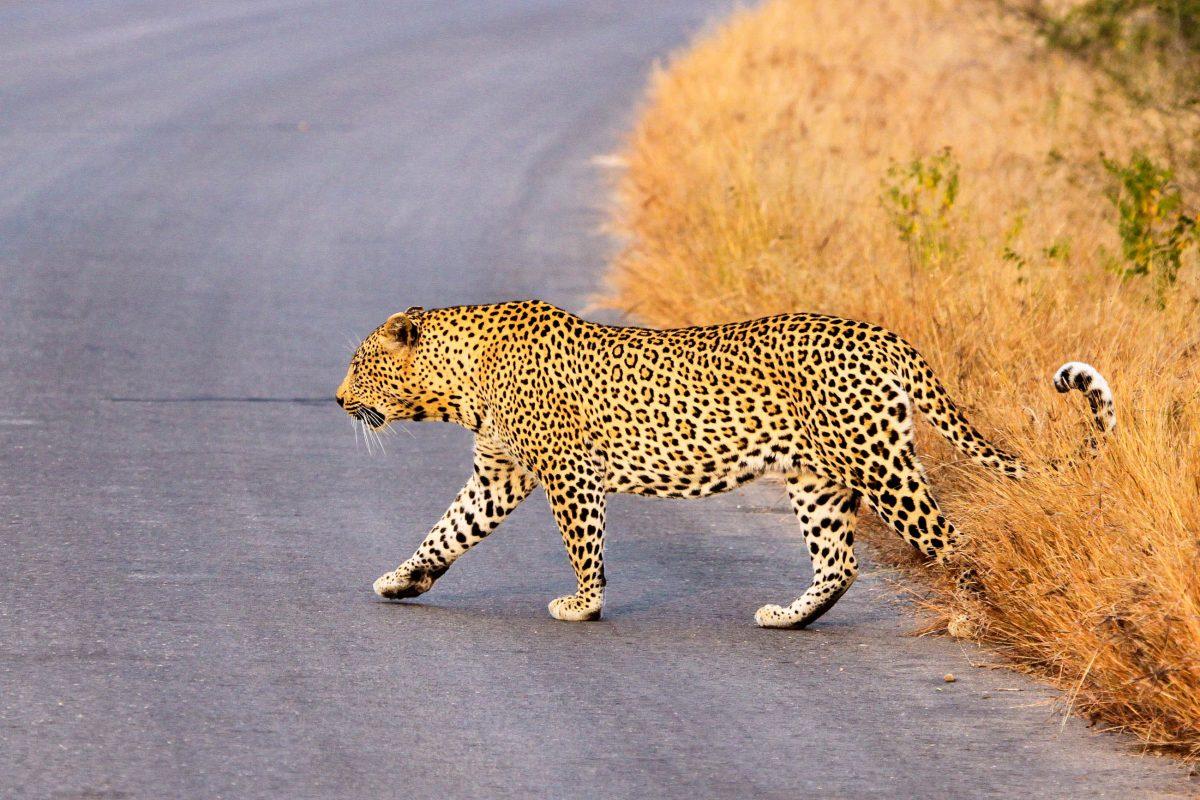 Ein Leopard überquert eine Straße im Krüger Nationalpark, Südafrika - © Tabby Mittins / Shutterstock