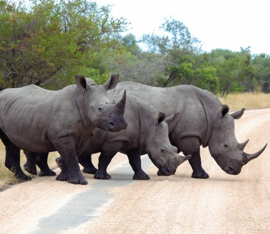 Eine Gruppe von Breitmaulnashörnern (Ceratotherium simum), manchmal auch auch Weiße Nashörner genannt im Krüger Nationalpark in Südafrika - © Jessica Ney / Shutterstock