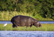 Hippo im iSimangaliso Wetland Park an der Ostküste Südafrikas; der Park zählt seit 1999 zum Weltnaturerbe der UNESCO - © Leon Marais / Shutterstock
