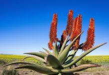 Innerhalb der Grenzen von Cape Floral in Südafrika gedeihen mit über 20.300 Arten fast 20 Prozent aller Pflanzenarten des afrikanischen Kontinents, hier die Aloe Ferox - © Andrea Willmore / Shutterstock