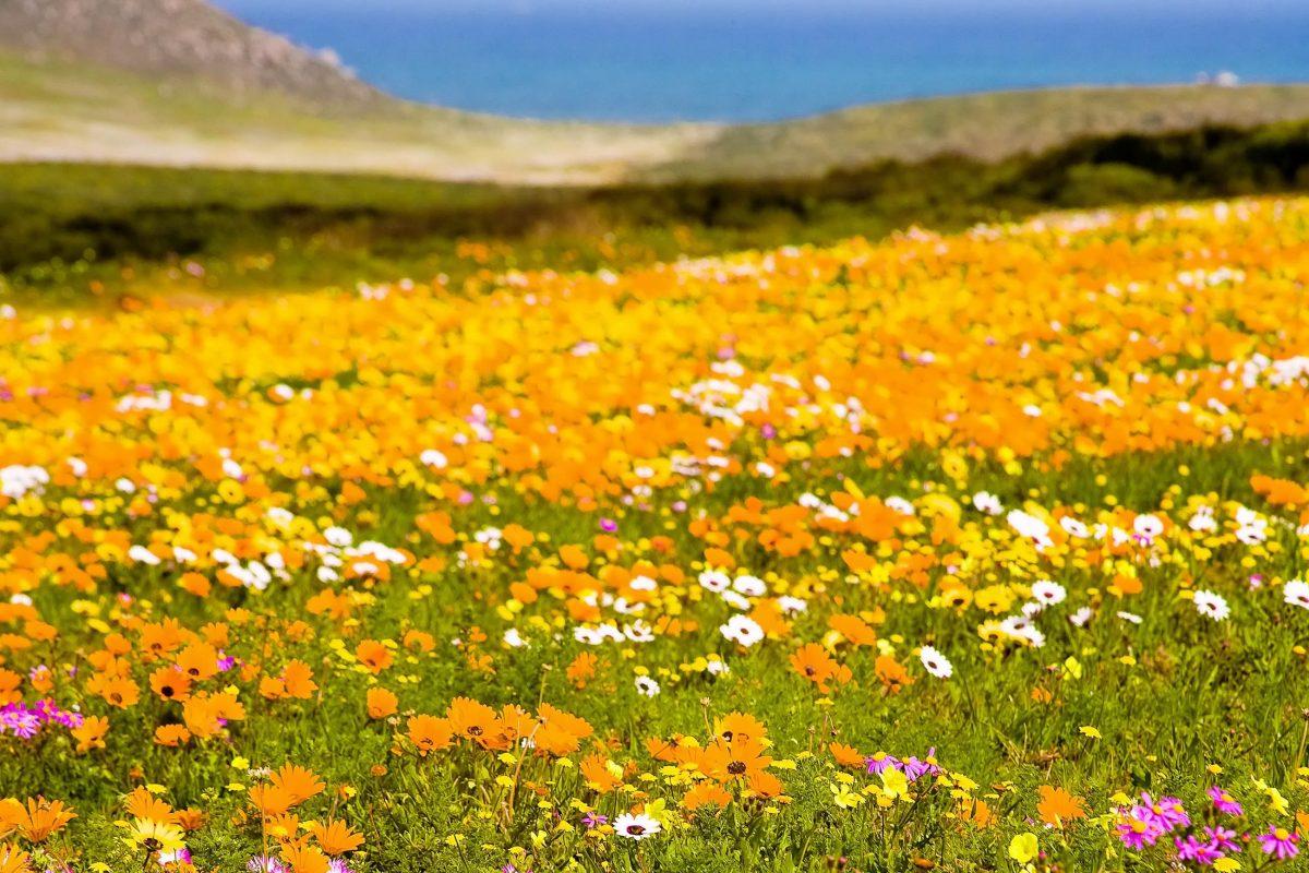 Zwischen Juli und Oktober, im Frühling Südafrikas, zeigt sich das Schutzgebiet Cape Floral von seiner farbenprächtigsten Seite - © Andrea Willmore / Shutterstock