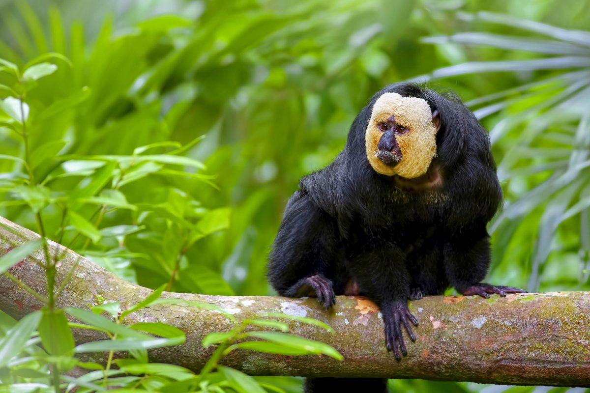Der Weißkopfsaki bevölkert mit 7 weiteren Affenarten die Baumwipfel im Naturschutzgebiet Zentral-Surinam - © Kjersti Joergensen / Shutterstock