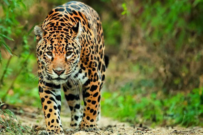 Im kaum besuchten Naturschutzgebiet Zentral-Surinam kann der scheue Jaguar noch ungestört auf die Jagd gehen - © Mikadun / Shutterstock