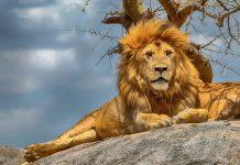 Der stolze Löwe gehört zu den furchterregendsten Raubtieren im Serengeti Nationalpark, Tansania - © Karthik Veeramani / Shutterstock