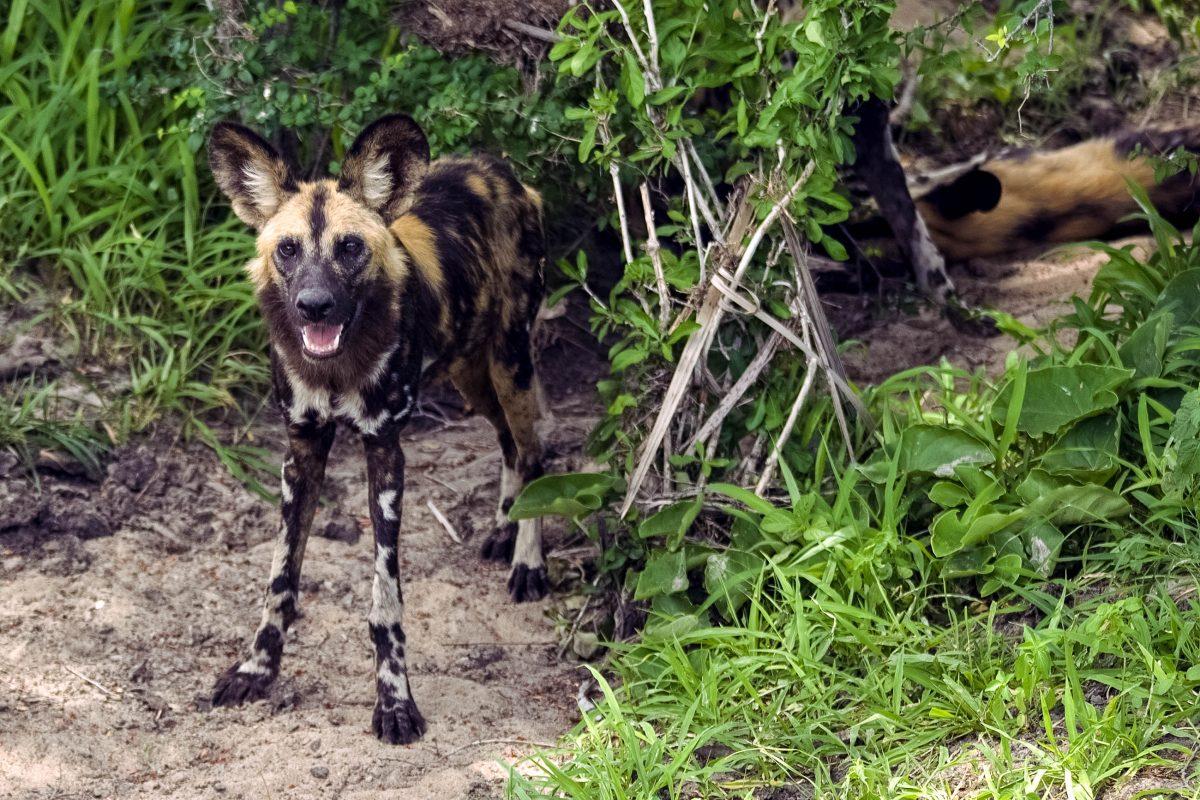 Der vom Aussterben bedrohte afrikanische Wildhund im Selous Wildreservat in Tansania eines seiner letzten Rückzugsgebiete gefunden - © Attila JANDI / Shutterstock