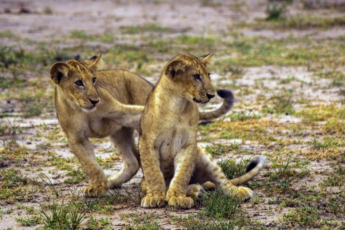 Die Hauptattraktion im Selous-Wildreservat in Tansania sind eindeutig die Löwen und vor allem ihre Jungen - © Attila JANDI / Shutterstock