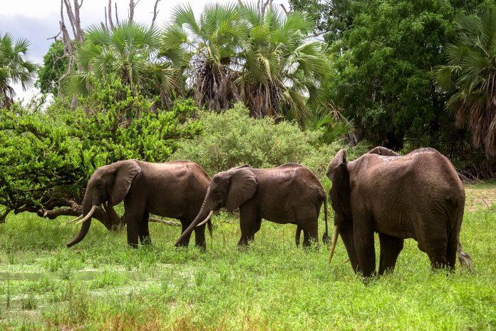 Drei junge Elefantenbullen im Selous Wildreservat in Tansania, dem größten Schutzgebiet Afrikas - © / Shutterstock