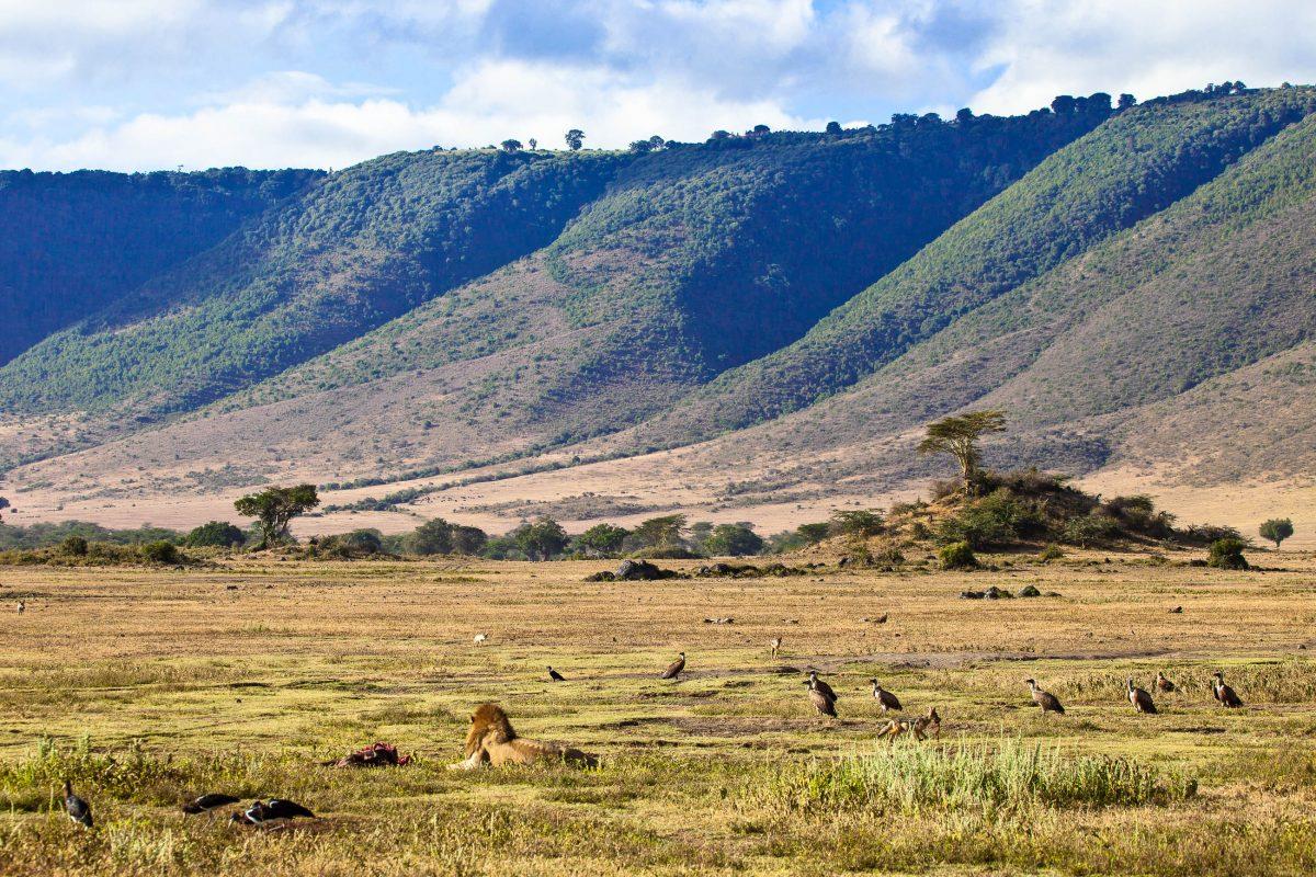 Ein erwachsener männlicher Löwe schützt seine Beute vor den lauernden Aasfressern im Ngorongoro-Krater, Tansania - © Gary C. Tognoni / Shutterstock