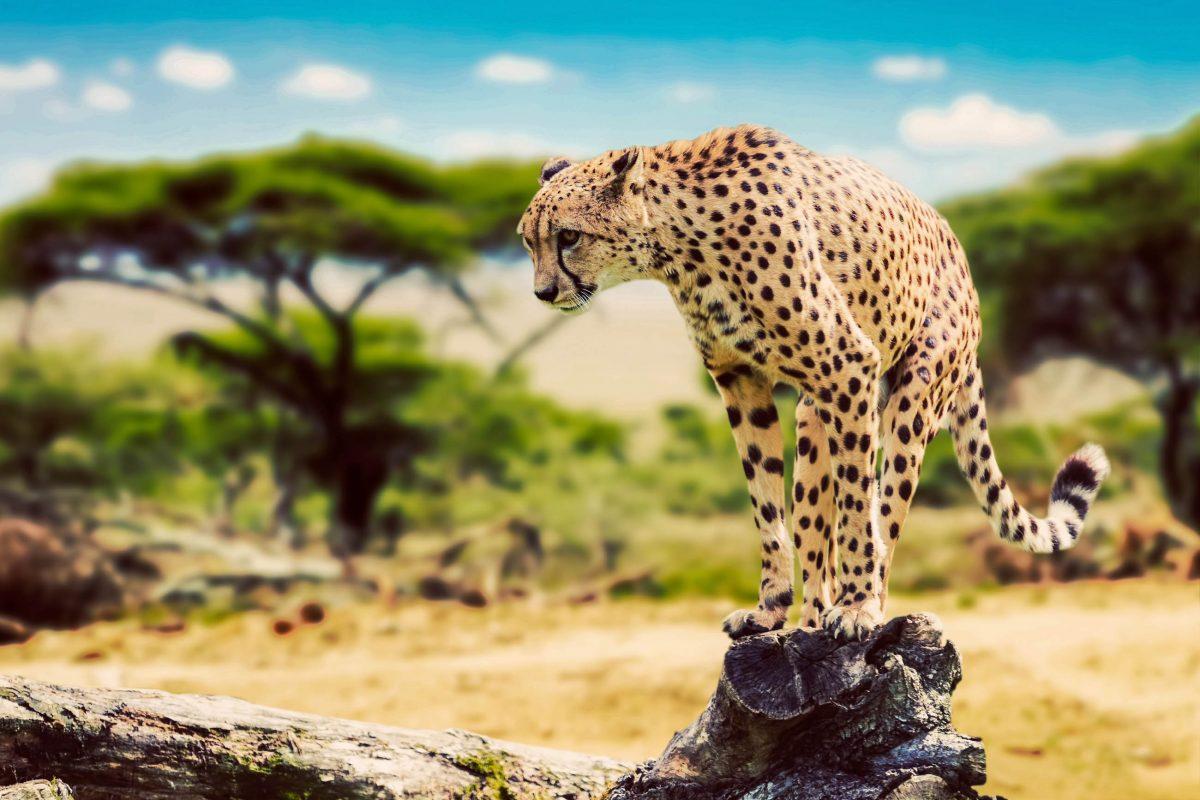 Ein majestätischer Gepard auf der Jagd im Serengeti Nationalpark in Tansania - © PHOTOCREO Michal Bednarek / Shutterstock