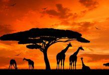Giraffen bei Sonnenuntergang in der Serengeti - © vencav / Fotolia