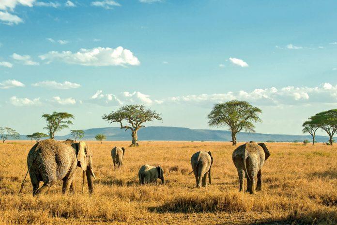 Kleine Gruppen von Elefanten begleiten die Millionen von Zebras und Gnus, die jedes Jahr durch den Serengeti Nationalpark ziehen, Tansania - © stockbyMH / Shutterstock