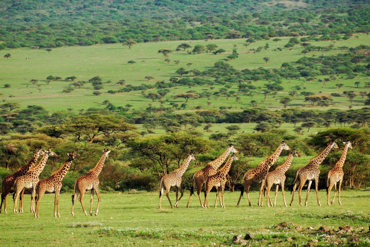 Während der Regenzeit verwandelt sich die Serengeti in eine herrliche Oase aus üppigem Grün, Tansania - © Oleg Znamenskiy / Shutterstock
