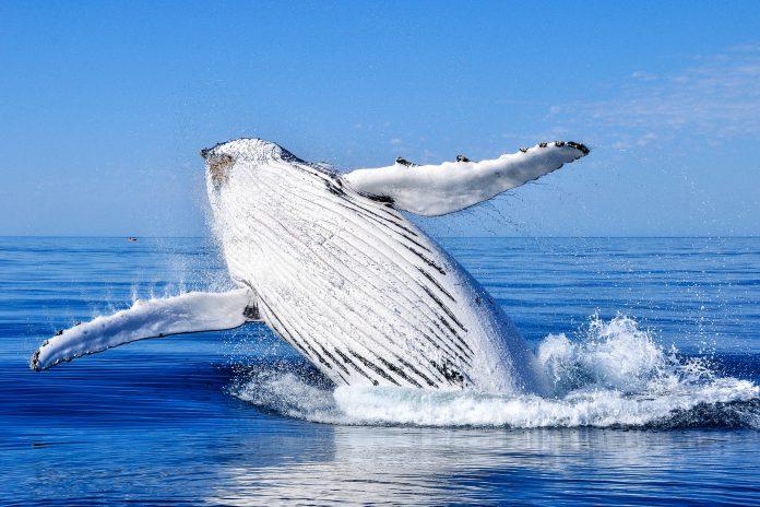 Zwischen Juni und Oktober kommen Buckelwale von der Antarktis in das warme ruhige Wasser um Tonga, um sich zu paaren und ihre Kälber großzuziehen - © s1000rr / Fotolia