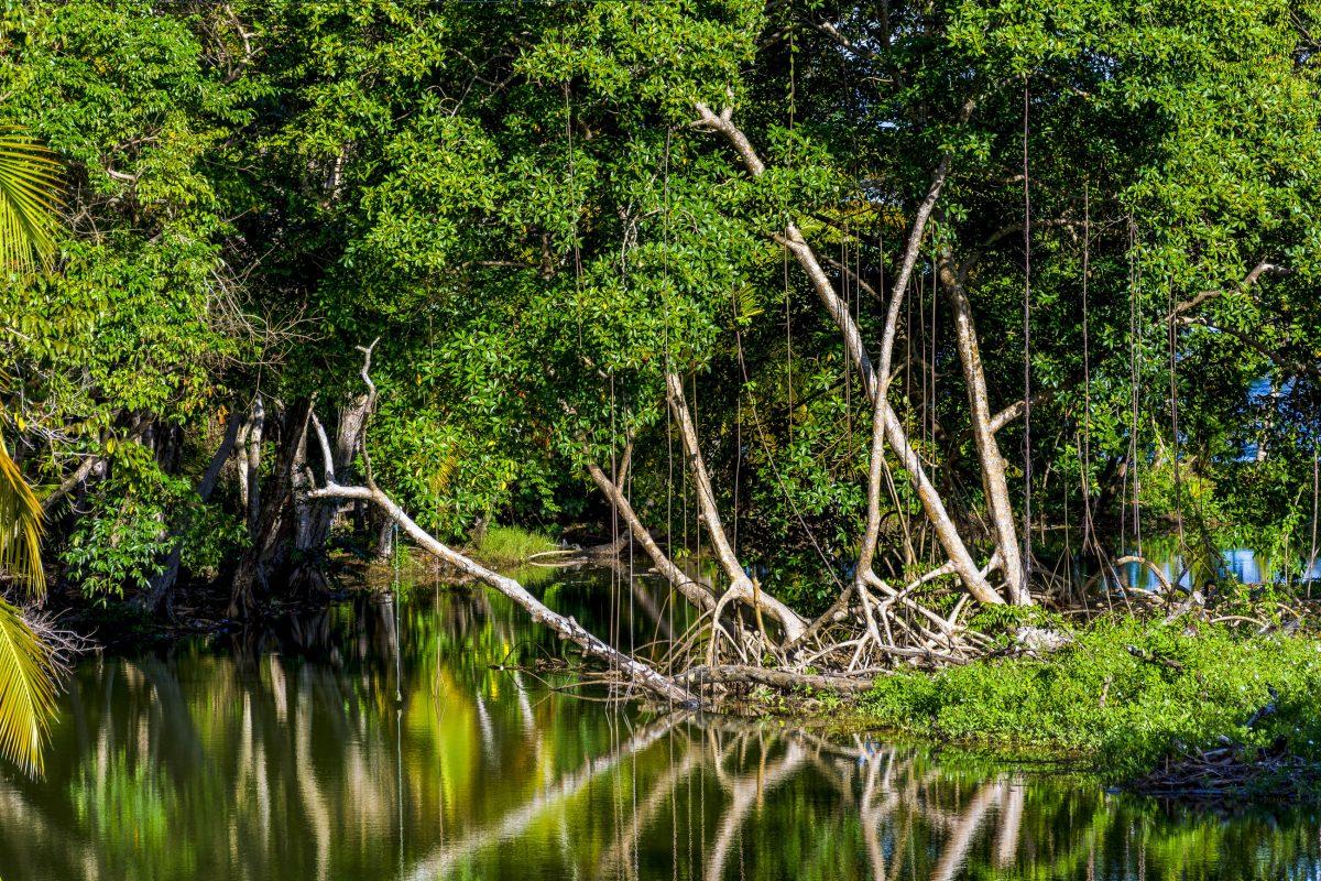 Die Caroni-Sümpfe bilden mit einer Gesamtfläche von 80km2 das größte Mangroven-Feuchtgebiet des Karibik-Staates Trinidad und Tobago - © John de la Bastide / Shutterstock