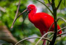 In den Caroni Sümpfen auf der Insel Trinidad leben ganze Schwärme des Roten Ibis, der als Nationalvogel von Trinidad und Tobago gilt - © Matt Cuda / Shutterstock