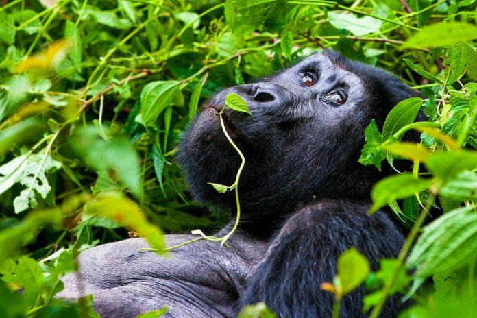 Ein Berggorilla im Bwindi Impenetrable Nationalpark, der weltweit die erste Anlaufstelle für Gorilla Trekking ist, Uganda - © Palenque / Fotolia