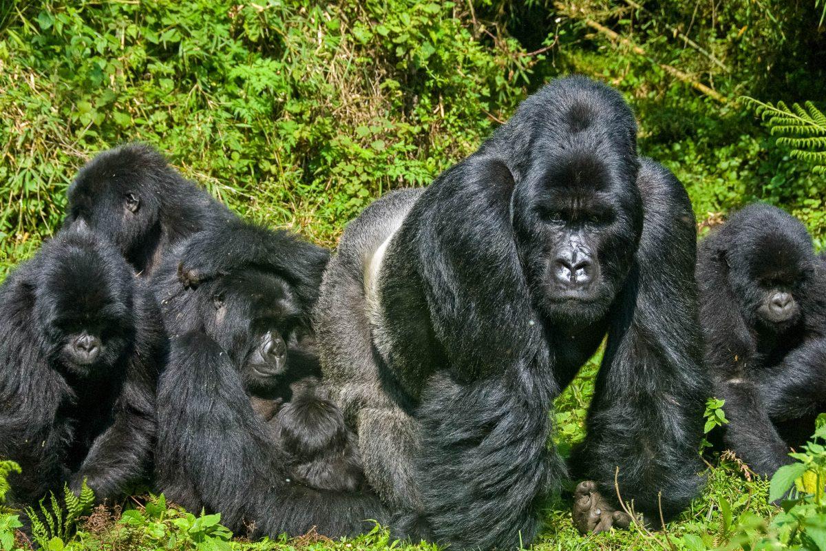 Neben dem Bwindi Impenetrable Nationalpark ist der Mgahinga Gorilla Nationlpark der zweite Ort in Uganda, an dem große Familien von Berggorillas zu finden sind - © FAUP/ Shutterstock