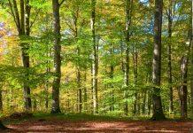 Die Buchenurwälder der ukrainischen Karpaten sind die größten Europas und beherbergen die weltweit höchsten und ältesten Buchen - © Brykaylo Yuriy / Shutterstock