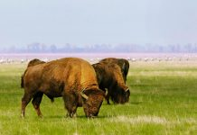 Eine grasende Gruppe von Bisons im Naturschutzgebiet Askania Nowa im Süden der Ukraine  - © joyfull / Shutterstock
