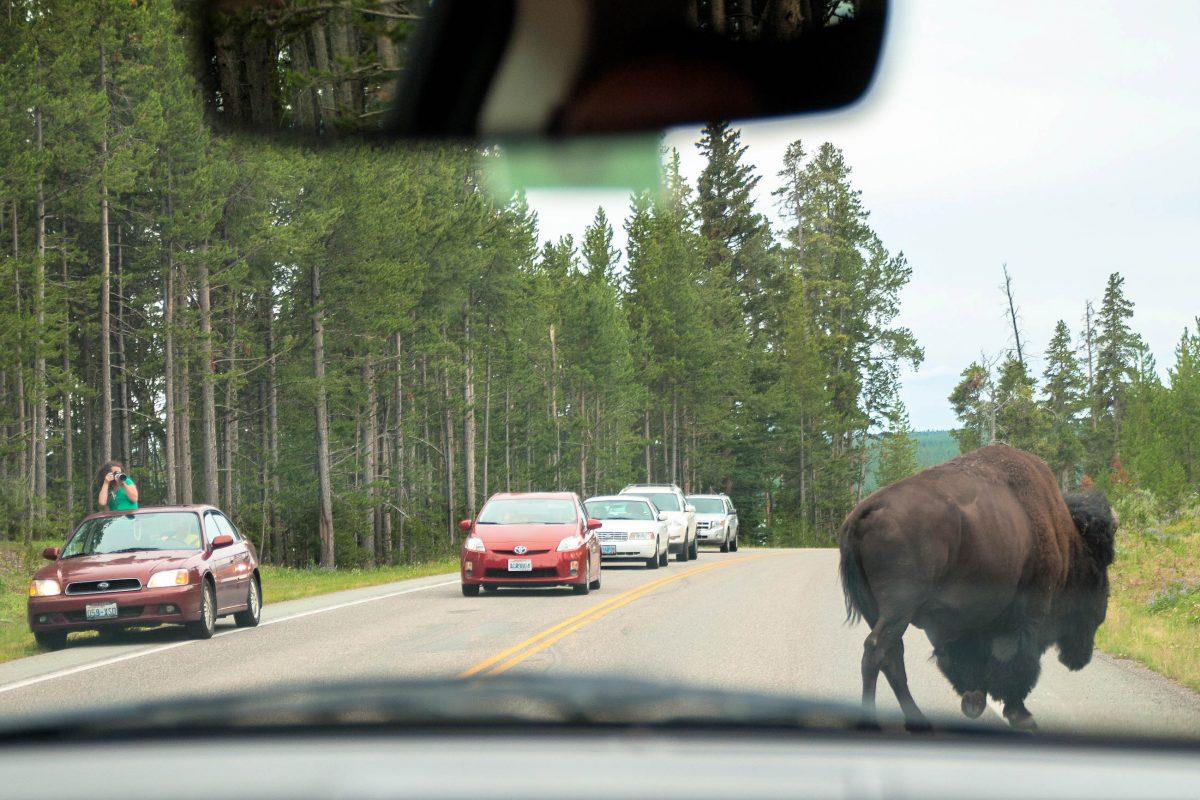 Die Bisons im Yellowstone Nationalpark haben keine Scheu, ungeniert mitten über die Straße zu wandern und so den einen oder anderen Stau zu produzieren, USA - © James Camel / franks-travelbox.com