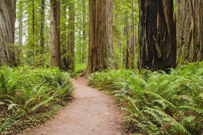 Die riesigen ehrfurchtgebietenden Mammutbäume im Redwood Nationalparkgeben geben dem Wald ein ganz charakteristisches Erscheinungsbild, Kalifornien, USA - © Chiyacat / Shutterstock