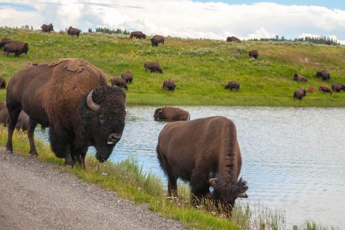 Neben den beeindruckenden Bisonherden sind im Yellowstone Nationalpark auch Wapiti-Hirsche, Elche, Wölfe, Kojoten, Pumas und Bären heimisch, USA - © James Camel / franks-travelbox.com