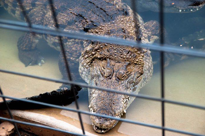 Reptile Gardens in Rapid City, South Dakota ist ein beeindruckender Zoo, der unter anderem mit einer sensationellen Sammlung von Krokodilen aufwarten kann - © James Camel / franks-travelbox