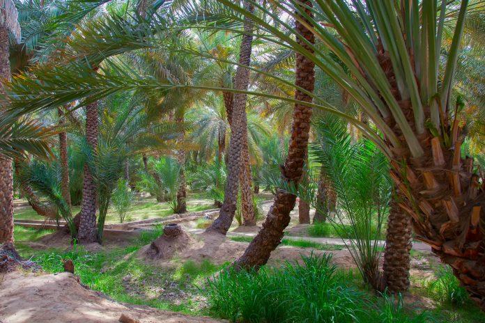 Mit einem Jahrtausende alten Bewässerungssystem vermittelt die Dattelpalmen-Oase Al Ain einen treffenden Eindruck des ursprünglichen Abu Dhabi, VAE - © Fedor Selivanov / Shutterstock