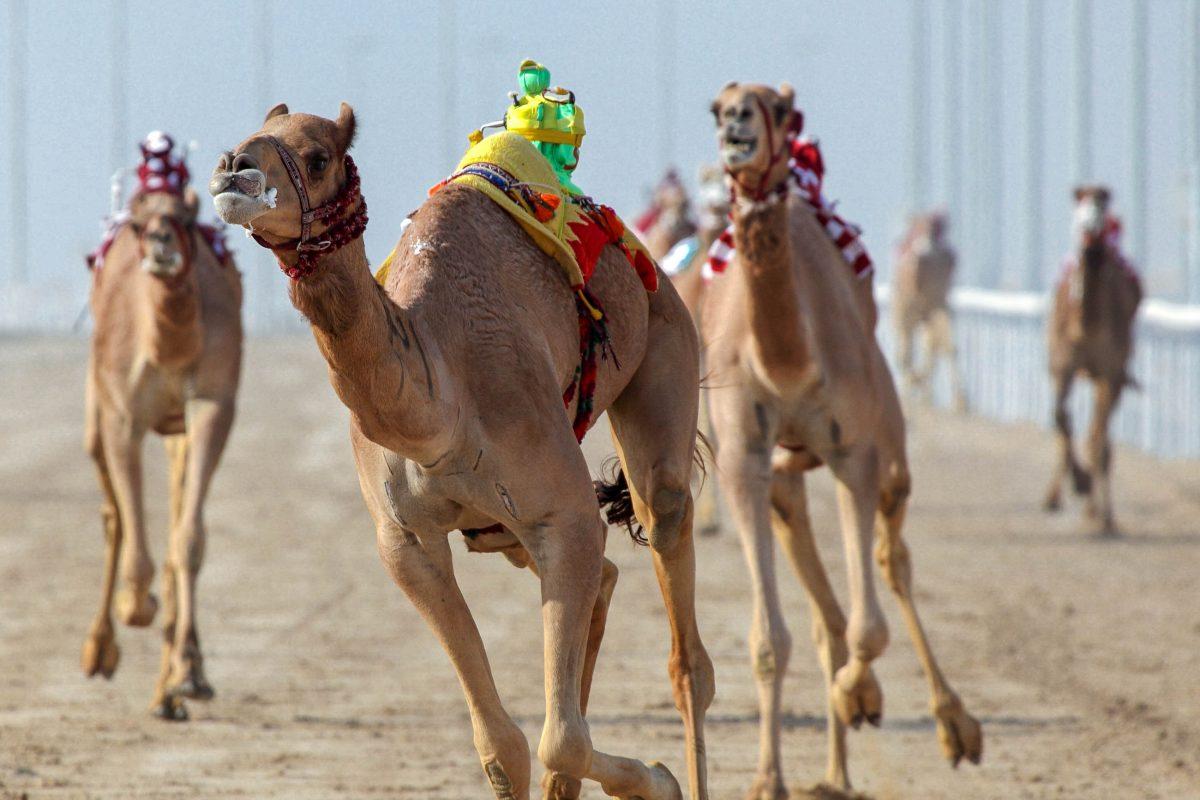 Die ca. 15.000 Euro teuren Jockey-Roboter sind ferngesteuert und treiben das Kamel anstelle von menschlichen Jockeys auf der Rennbahn an, VAE - © Philip Lange / Shutterstock