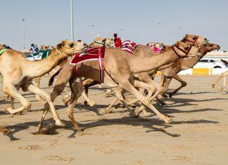 Die Kamelrennen haben in Ras al Khaimah nicht nur lange Tradition, sondern sind mittlerweile auch ein wichtiger Teil der Wirtschaft geworden, VAE - © Philip Lange / Shutterstock