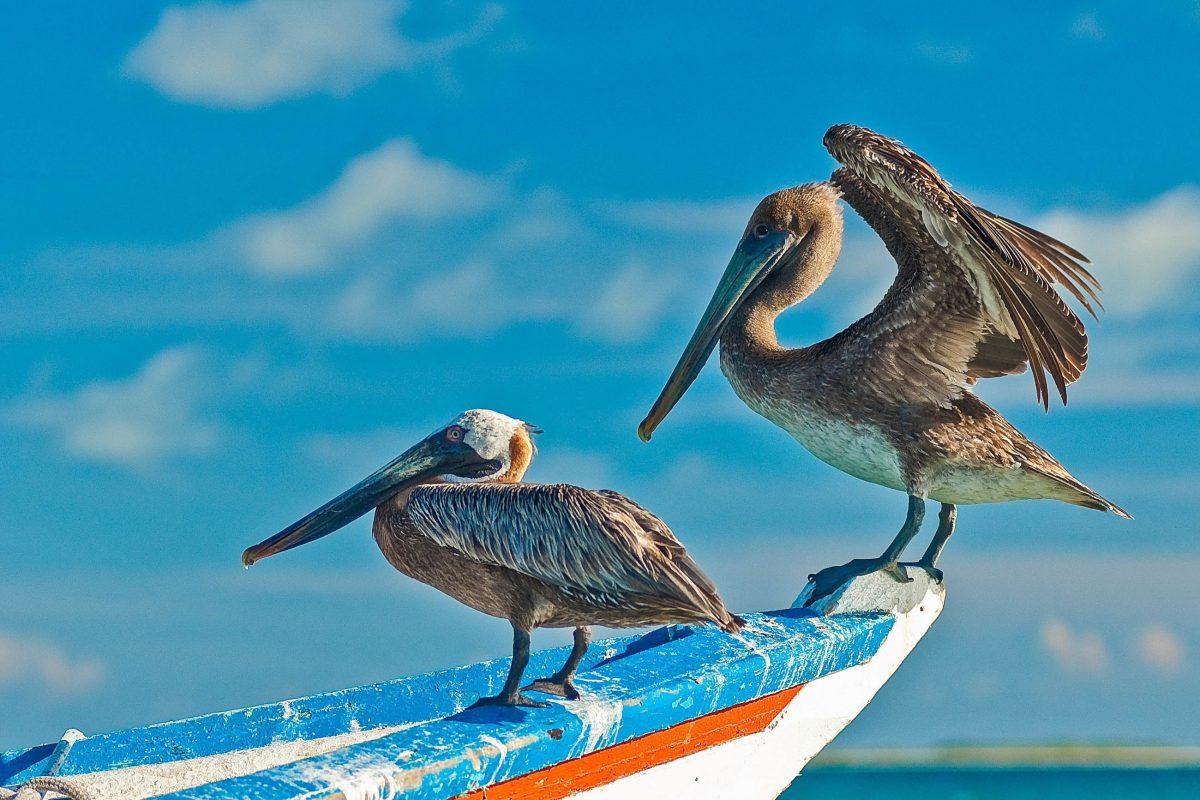 Das umfangreiche Fisch-Angebot der Los Roques in Venezuela, wissen auch Pelikane und Fregattvögel zu schätzen - © Carc / Shutterstock