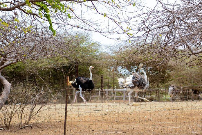 Die Straußenfarm auf der karibischen Insel Curaçao ist die größte Straußenfarm außerhalb Afrikas und zählt zu beliebtesten Attraktionen der Insel - © James Camel / franks-travelbox
