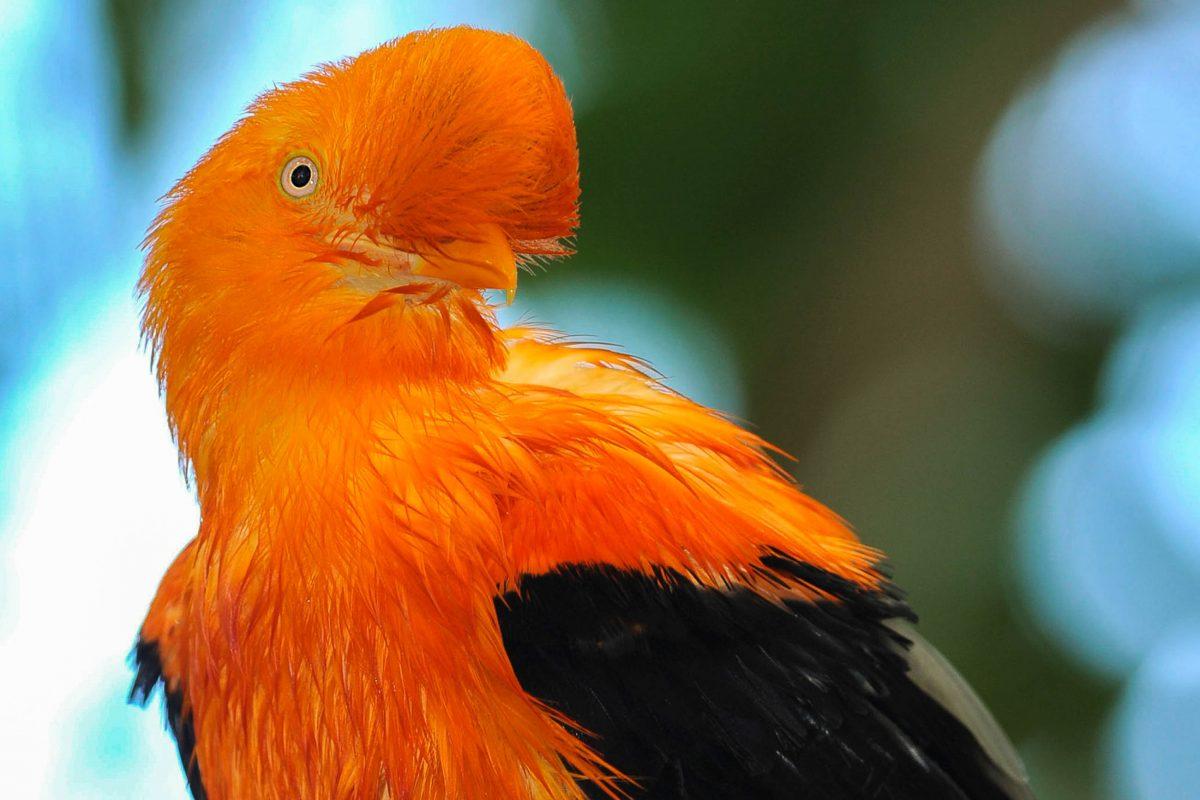 Unter den 500 Vogelarten der Rupununi-Savanne lebt auch der auffällig gefiederte Felsenhahn, Guyana - © worldswildlifewonders/Shutterstock