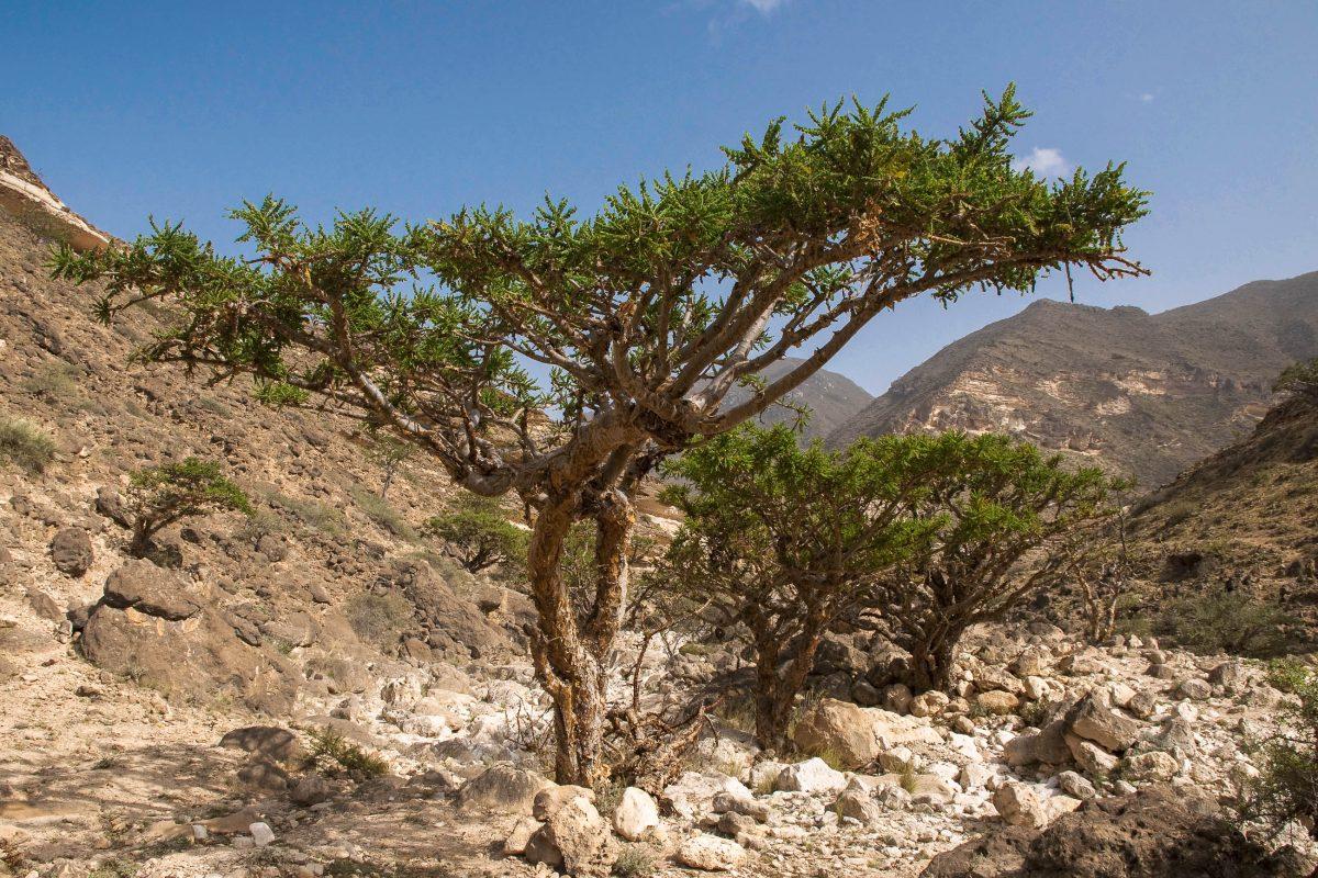 Das Wadi Dawkah im Süden Omans gilt seit der Antike als Herkunftsort des Weihrauchs - © Maros Markovic / Shutterstock