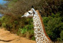 Mit über 4000 Tieren ist der weitläufige Zoo von Al Ain in Abu Dhbai der größte Tiergarten der VAE - © Jenny Sturm / Shutterstock