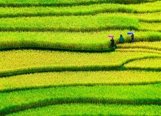 Reisfelder in Vietnam - © Jun Baby / Shutterstock
