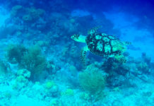 Eine Grüne Meeresschildkröte am Korallenriff um Klein Bonaire - © Lila Pharao / franks-travelbox