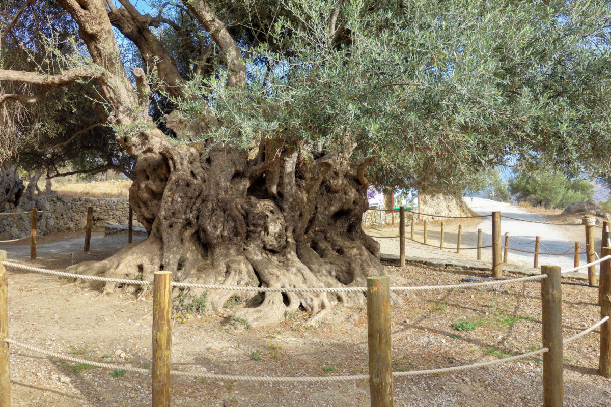 Der gewaltige Olivenbaum bei Kavousi auf Kreta, Griechenland, wird auf ein unglaubliches Alter von 3.250 Jahren geschätzt - © FRASHO / franks-travelbox