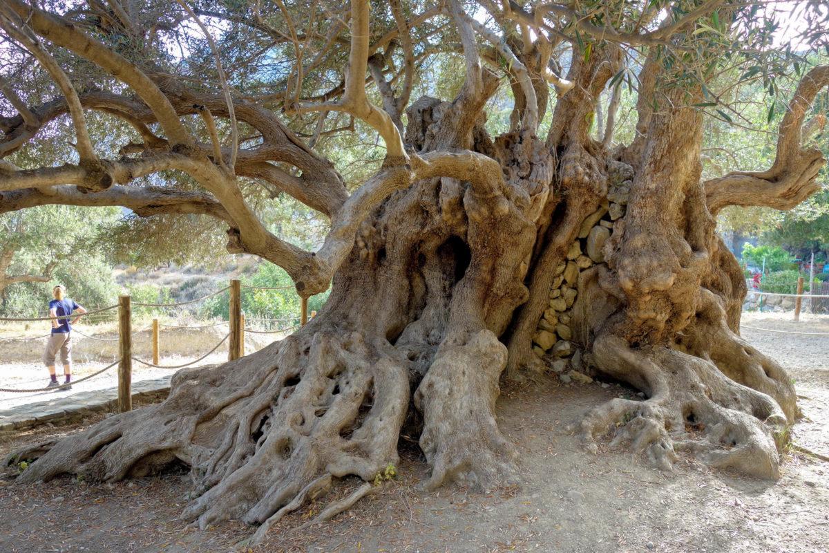 Der Stammumfang des Olivenbaums bei Kavousi auf Kreta, Griechenland, wächst seit über 3.000 Jahren und beträgt mittlerweile fast 5 Meter - © FRASHO / franks-travelbox