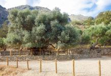 Nahe der Ortschaft Kavousi im Osten und bei Ano Vouves im Westen von Kreta, Griechenland, stehen die wohl ältesten Olivenbäume der Wel - © FRASHO / franks-travelbox