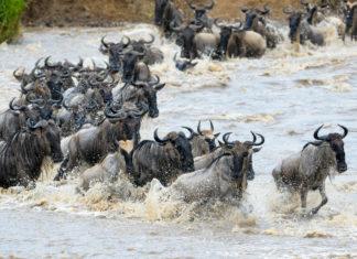 Gnus beim durchqueren des Mara Flusses, Masai Mara Wildreservat, Kenia - © andreanita / Fotolia