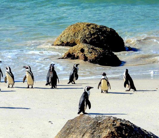 Pinguine auf den Falklandinseln - © rickyd / Shutterstock