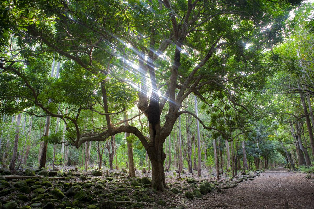 Der 10km lange Macchabée-Trail durch den spektakulären Macchabée-Tropenwald führt direkt zum Besucherzentrum in Le Pétrin, Mauritius - © Jan Krcmar / Shutterstock