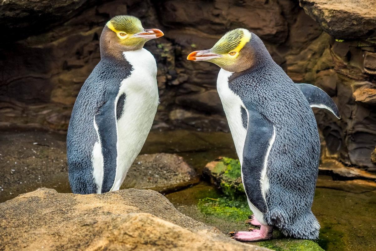 Die malerische Küstenstadt Oamaru bietet eine einmalige Gelegenheit, Gelbaugen- und Zwergpinguine aus nächster Nähe beobachten zu können, Neuseeland - © Robert CHG / Shutterstock