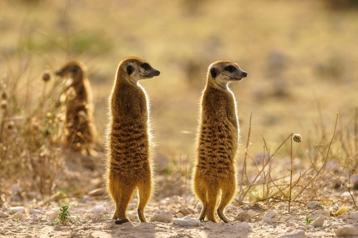 Auch Erdmännchen  sind in der Kalahari-Wüste zu Hause, Botswana, Südafrika, Namibia - © Daan de HvD / Shutterstock