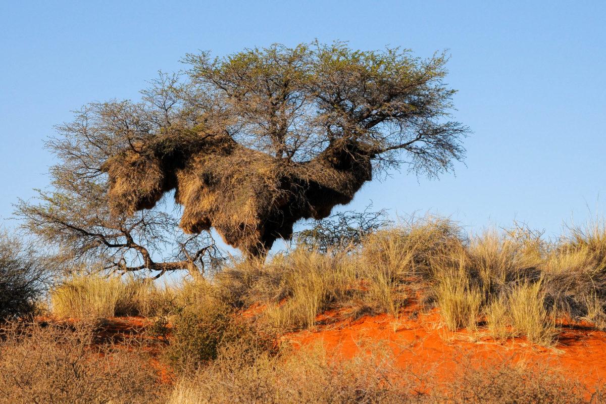 Die präsentesten tierischen Bewohner in der Kalahari sind die Webervögel, deren kugelförmige Nester an nahezu jeder Akazie hängen, Botswana, Südafrika, Namibia - © Claudiovidri / Shutterstock